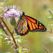 Monarch Butterfly On Thistle 2 Poster