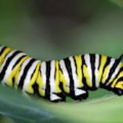 Monarch Caterpillar Macro Poster