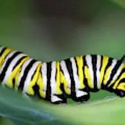 Monarch Caterpillar Macro Number 2 Poster