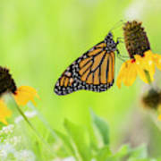Monarch On Wildflowers Poster
