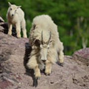 Mountain Goats- Nanny And Kid Poster