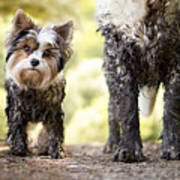 Muddy Little Dog Stands Next To A Muddy Poster