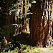 New Growth Redwoods Poster