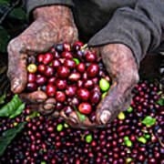 Nicaraguan Coffee Picker Poster