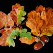 Oak Leaves And Acorns On Black Poster