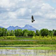 Osprey Over The Wetlands Poster