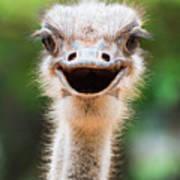 Ostrich Head Closeup Poster