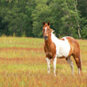 Paint Horse In Meadow Poster