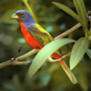 Painted Bunting Male Poster