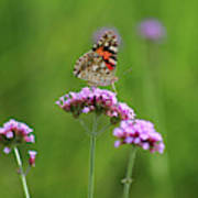 Painted Lady Butterfly Beauty Poster