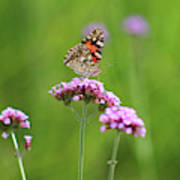 Painted Lady Butterfly In Green Field Poster