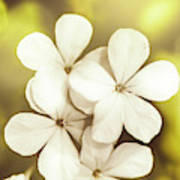 Pale Wildflowers Poster
