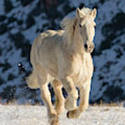 Palomino Draft Horse Running In The Snow Shell Wyoming Usa Carry All Pouch For Sale By Carol Walker Naturepl Com
