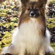 Papillon Sitting In Leaves Poster