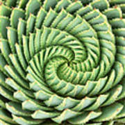 Pattern Of Spiral Aloe Aloe Polyphylla Poster