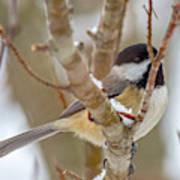 Peaceful Winter Chickadee  Poster