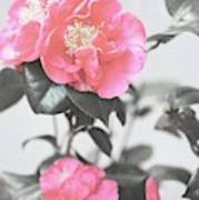 Pink Camellia. Shabby Chic Collection Poster