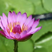 Pink Lotus Water Flower Poster