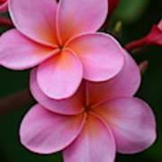 Pink Plumerias  Poster