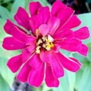 Pink Zinnia With Spider Poster