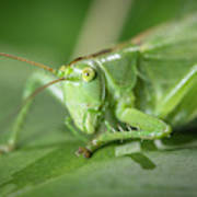 Portrait Of A Great Green Bush-cricket Sitting On A Leaf Poster