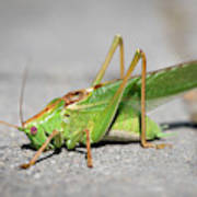 Portrait Of A Great Green Bush-cricket Sitting On The Pavement Poster
