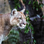Portrait Of Beautiful Puma. Cougar Poster