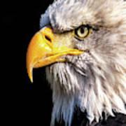 Profile Of Bald Eagle Poster