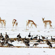 Pronghorn Antelope And Geese Poster