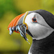 Puffin With A Mouthful Poster