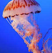 Purple-striped Jellyfish Poster