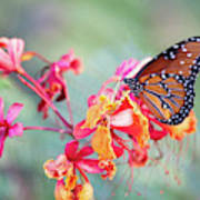 Queen Butterfly On Mexican Bird Of Paradise  Poster