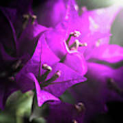 Rays Of Bougainvillea Poster
