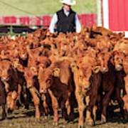 Red Angus Calves Poster