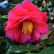 Red Camelia Poster