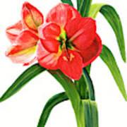 Red-orange Amaryllis Poster