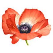Red Poppy Flower, Image For Prints On Tshirt Poster