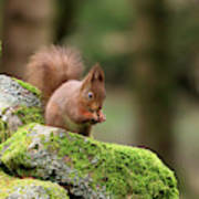 Red Squirrel Sciurus Vulgaris Eating A Seed On A Stone Wall Poster