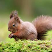 Red Squirrel Sciurus Vulgaris Poster