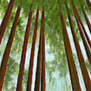 Redwood Forest Poster