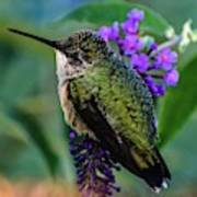 Rescued Ruby-throated Hummingbird Poster
