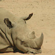 Resting Rhinoceros With His Head Down In A Sandy Area Poster