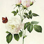 Rosa Bengale The Hymenes By Redoute Poster