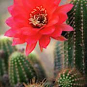 Rose Quartz Cactus Flower  Poster