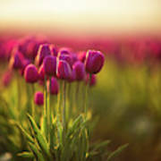 Rows Of Magenta Painterly Tulips Poster