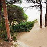 Sand Drifting Up Onto Tree Trunks At Poster