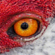 Sandhill Crane Eye Poster