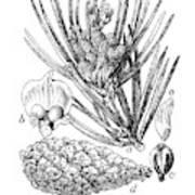 Scots Pine Or Pinus Silvestris, Botanical Vintage Engraving Poster
