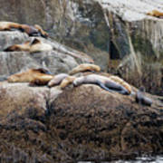 Sea Lions Sleeping On Rock Poster