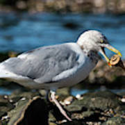 Seagull Carrying Snail Poster